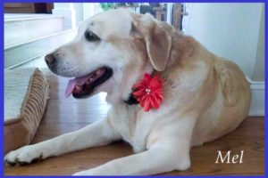 Adult Yellow lab dog post operative care