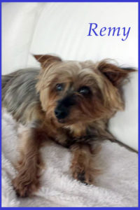 Yorkshire Terrier 24 hour care vs boarding