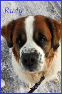 Dog walking St. Bernard in winter Lansdale pa