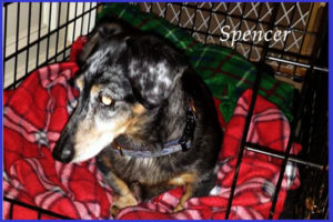 Long haired dachshund puppy being crate trained in Warrington PA